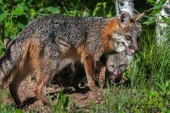 Grey Fox Vixen (Urocyon cinereoargenteus) and Kit Beneath Royalty Free Stock Image