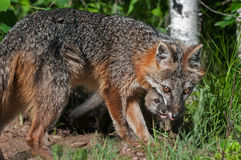 Grey Fox Vixen (Urocyon cinereoargenteus) and Kit Royalty Free Stock Photo