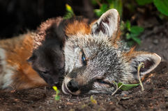 Grey Fox Vixen (Urocyon cinereoargenteus) and Kit Closeup Royalty Free Stock Photo