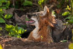 Grey Fox Vixen (Urocyon cinereoargenteus) and Kit Heads Up to Su Royalty Free Stock Image