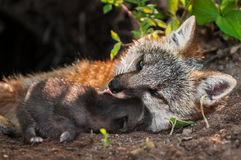 Grey Fox Vixen (Urocyon cinereoargenteus) and Kit Snuggle Stock Images