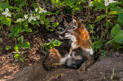 Grey Fox Vixen (Urocyon cinereoargenteus) and Kit Snuggle at Den Stock Images