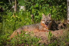 Grey Fox Vixen Urocyon-cinereoargenteus legt sich nahe Höhle hin Stockbild