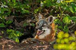 Grey Fox Vixen (Urocyon cinereoargenteus) liegt im Eingang von De Lizenzfreies Stockbild