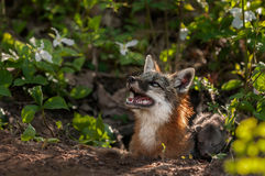 Grey Fox Vixen (Urocyon cinereoargenteus) Looks Up with Kit Royalty Free Stock Photos