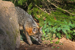 Grey Fox Vixen Urocyon cinereoargenteus Nose to Ground Royalty Free Stock Images