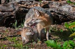 Grey Fox Vixen (Urocyon cinereoargenteus) pflegt Ausrüstungen Lizenzfreies Stockbild