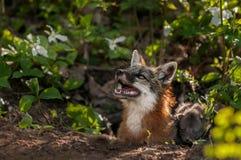Grey Fox Vixen (Urocyon cinereoargenteus) schaut oben mit Ausrüstung Lizenzfreie Stockfotos
