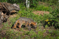 Grey Fox Vixen Urocyon cinereoargenteus and Sitting Kit Royalty Free Stock Images