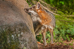 Grey Fox Vixen (Urocyon cinereoargenteus) Sniffs Rock Royalty Free Stock Image