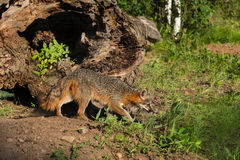 Grey Fox Vixen (Urocyon cinereoargenteus) Stalks Right Stock Photo