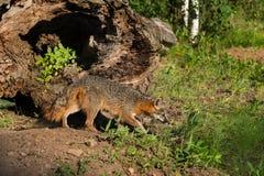 Grey Fox Vixen (Urocyon cinereoargenteus) Stalks Right Stock Photo