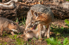 Grey Fox Vixen (Urocyon cinereoargenteus) with Two Kits Royalty Free Stock Images