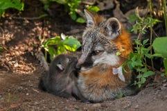 Grey Fox Vixen (Urocyon cinereoargenteus) und ihre Ausrüstung an der Höhle Lizenzfreie Stockfotografie