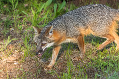 Grey Fox Vixen (Urocyon cinereoargenteus) Walks Left Stock Images