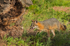 Grey Fox Vixen (Urocyon cinereoargenteus) Walks Near Log Stock Photos