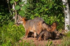 Grey Fox Vixen (Urocyoncinereoargenteus) med satser under henne Arkivbilder