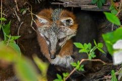 Grey Fox Vixen (Urocyoncinereoargenteus) och sats i håla Arkivbilder
