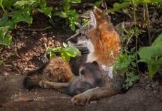 Grey Fox Vixen (Urocyoncinereoargenteus) som Alertly ser, lämnade a Arkivfoton