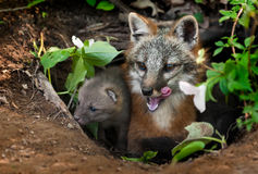 Grey Fox Vixen y equipo (cinereoargenteus del Urocyon) en la guarida - bostezo Fotografía de archivo