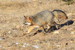 Grey fox walking in spring time Royalty Free Stock Images