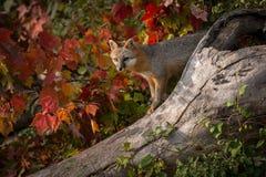 Grey Fox (Urocyon cinereoargenteus) Atop Log Royalty Free Stock Photography