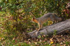 Grey Fox (Urocyon cinereoargenteus) Looks Out from Log Royalty Free Stock Images