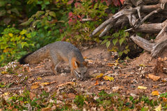 Grey Fox (Urocyon cinereoargenteus) Sniffs Outside Den Stock Image
