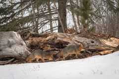 Grey Foxes Urocyon cinereoargenteus Move Right in Front of Log Royalty Free Stock Images