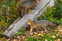 Grey Foxes (Urocyon cinereoargenteus) Walk Near and On Log Stock Photography