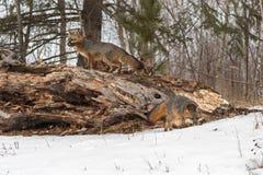 Grey FoxesUrocyon-cinereoargenteus bewegen sich um Klotz stockfoto