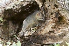 Grey FoxPeeking ut ur håla Royaltyfri Fotografi