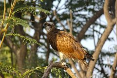 Grey Francolin sitting on the branches of tree. Royalty Free Stock Photos