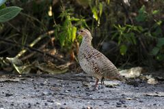 Grey francolin. The grey francolin is a species of francolin found in the plains and drier parts of the Indian subcontinent. This species was formerly also royalty free stock photography