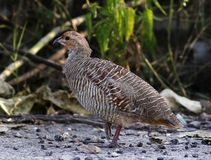 Grey francolin. The grey francolin is a species of francolin found in the plains and drier parts of the Indian subcontinent. This species was formerly also royalty free stock photo