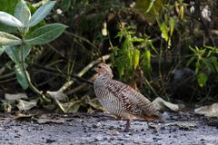 Grey francolin. The grey francolin is a species of francolin found in the plains and drier parts of the Indian subcontinent. This species was formerly also royalty free stock photos