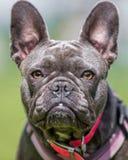 Grey French Bulldog stellen Porträt in einem rosa Kragen gegenüber Sehr nah lizenzfreie stockfotografie