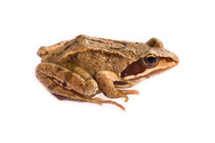 Grey frog isolated on white royalty free stock images