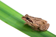 Grey frog sitting on a green leaf Stock Image