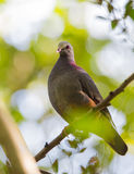 Grey-fronted Qual Dove on a branch Royalty Free Stock Photo