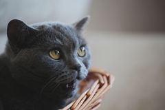 Grey Cat Basket Portrait interior natural light. Grey funny Cat Basket Portrait interior natural light Royalty Free Stock Photo