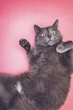 Grey funny cat posing Royalty Free Stock Image