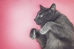 Grey funny cat posing Stock Photography