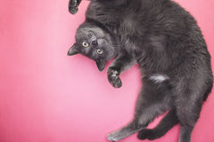 Grey funny cat posing. On the pink background Royalty Free Stock Photography