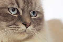 Grey furred cat head with blue eyes looks to side. Close up of grey furred cat with light blue eyes looking to side on white blurred background Royalty Free Stock Photos