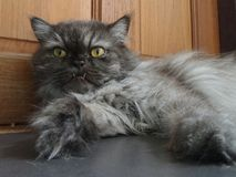 Grey fury Persian cat Royalty Free Stock Photography