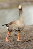 Grey Geese Stock Photography