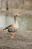 Grey Geese Stock Images
