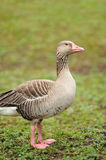 Grey Geese Stock Image