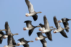 Grey Geese (anser del Anser) in volo. Immagini Stock